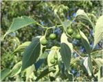 پاورپوینت-درخت-داغداغان-(غیر-مثمر)